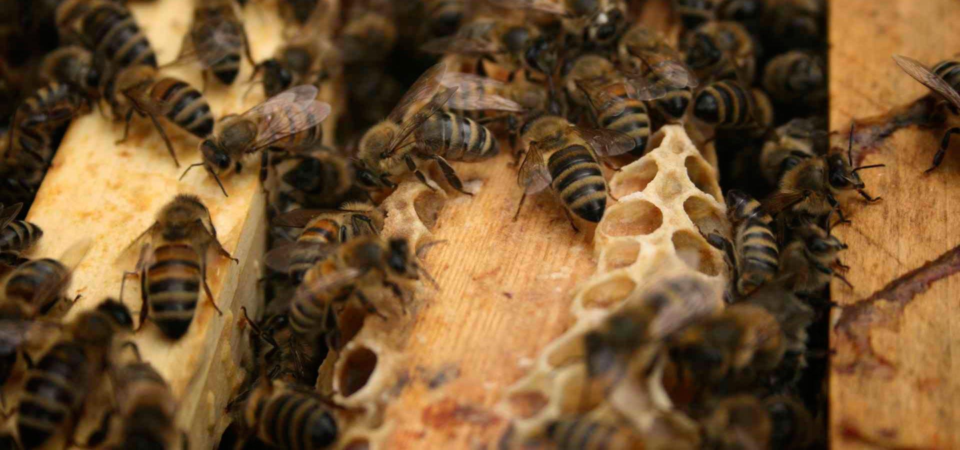 Bienen Mittelwände Rähmchen.